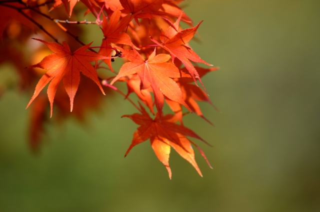 今年の宮島の紅葉は、真っ赤に色づいていて素敵らしい